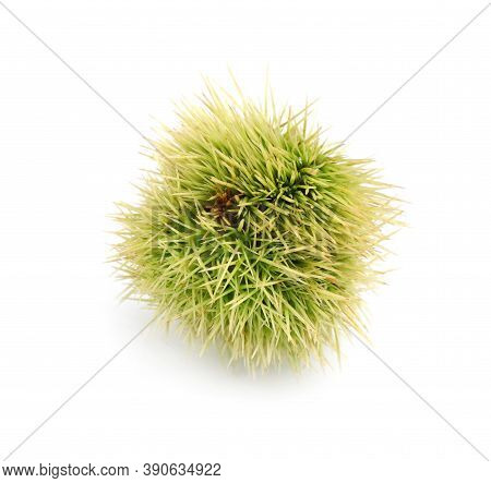 Fresh Sweet Edible Chestnut In Green Husk Isolated On White