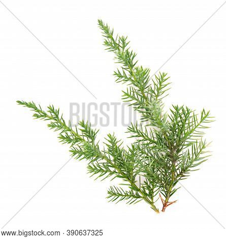 Juniper Green Branch, Isolated On White Background. Ornamental Plants For Landscape Design.