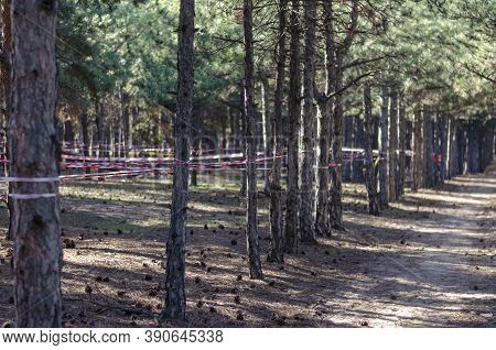 Pine Wood And Red Barrier Tape. Fence Tape Is Stretched Around The Trees. Prohibition Of Visiting Th