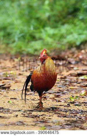 The Sri Lankan Junglefowl (gallus Lafayettii), Also Known As The Ceylon Junglefowlon In Raiforest