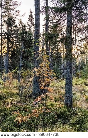 Coniferous Forest, Mengusovska Valley, High Tatras Mountains, Slovak Republic. Hiking Theme. Autumn