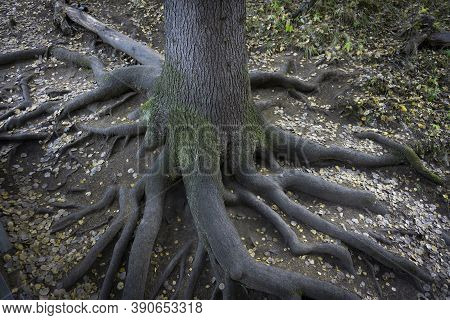 Roots Of An Old Relict Tree In The Autumn Forest. Interlacing Of Massive Roots. The Roots Of The Mag