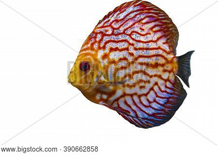 Close Up View Of Gorgeous Checkerboard Red Map Discus Aquarium Fish Isolated On White Background. Ho