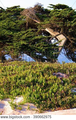Sand Dunes Covered With Lush Succulent Ice Plants Besides A Windswept Cypress Tree Taken In The Rura