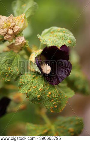 Rust Fungus On A Black Hollyhock Flower