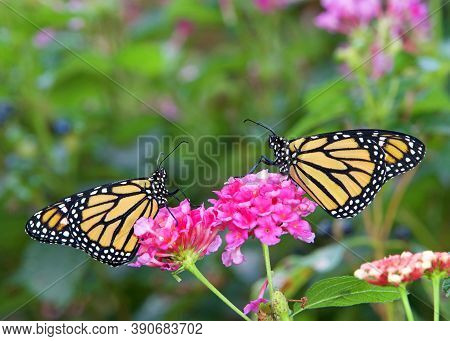 Two Monarch Butterflies Face To Face Sitting On Pink Lantana Flowers.
