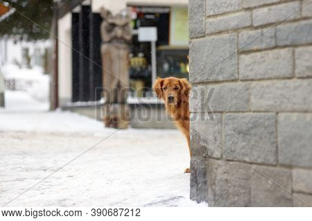 Irish Setter Dog On Street Of Small Town In Alps, Switzerland, Europe. Winter Family Vacation With P