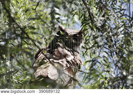 A Greyish Eagle-owl, Bubo Cinerascens, In A Tree.