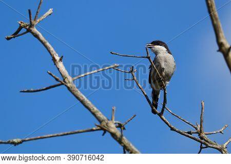 Fiscal Shrike Bird On Tree Branch (lanius Collaris), Mossel Bay, South Africa