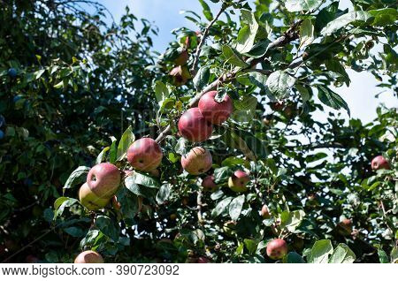 A Branch Of An Apple Tree In Autumn With Red Fruits