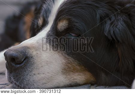 Portrait Of A Bernese Mountain Dog Sleeping On A Paving Slab. A 10-year-old Pet Is Napping In The Fr