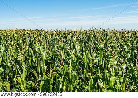 Corn Plantation. A Green Field Of Corn Growing Up. Corn Field Close Up Look