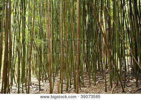 Bambus-Wald