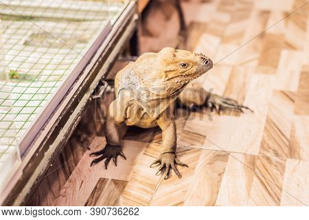 Iguana- Also Known As Common Iguana Or American Iguana, Is A Large, Arboreal, Mostly Herbivorous Spe