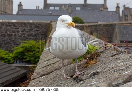 Beautiful And Funny Seagull On Green Grass. Close Up View Of White Bird Seagull On Green Grass.