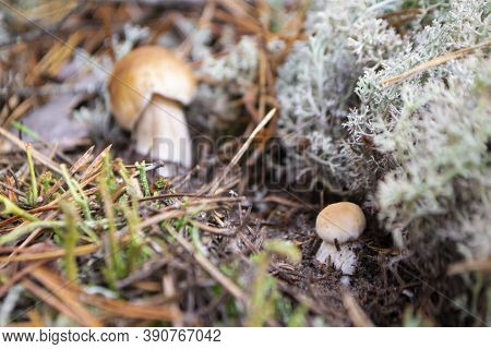Two Mushrooms The Boletus Also Known As Penny Bun, Cep, Porcino Or Porcini - Edible, Tasty Forest Mu