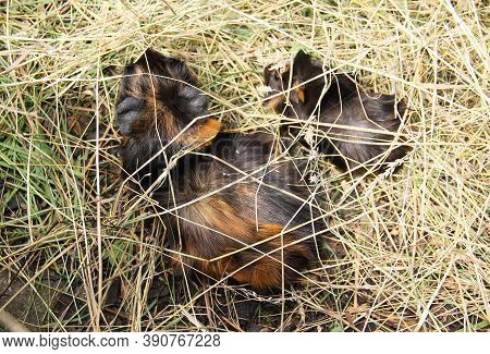 Adult Guinea Pig With A Young One Hiding In The Hey