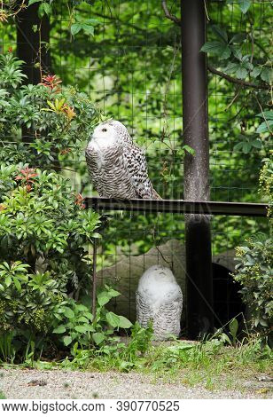 Couple Of Fluffy Snowy Owls (bubo Scandiacus) In The Aviary