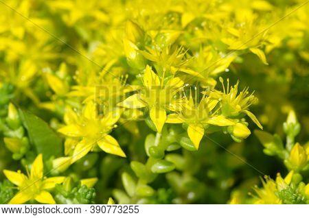 Blooming Sedum Acre In The Garden Close-up