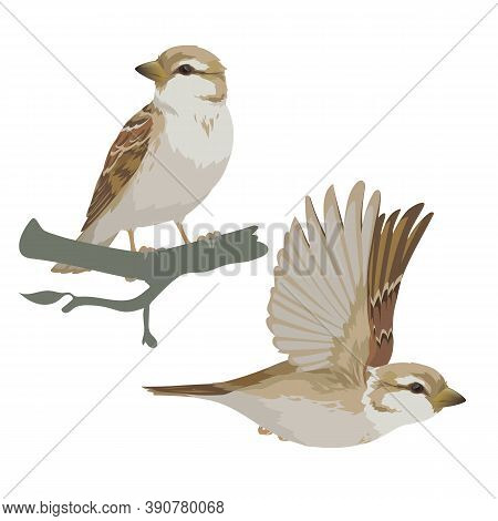 Realistic Sparrow Flying And Sitting On Branch. Vector Illustration Of Little Female Bird Sparrow In