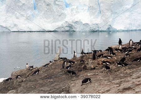 Gentoo Penguin Rookery,