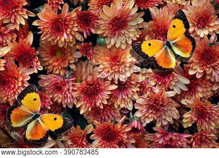 Red Chrysanthemum And Colorful Orange Butterflies Texture Background. Top View. Autumn Flowers