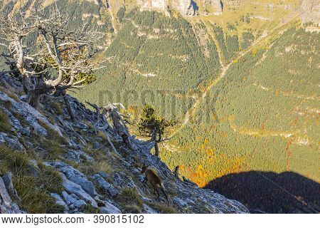 Chamois In Autumn In Ordesa And Monte Perdido National Park, Spain