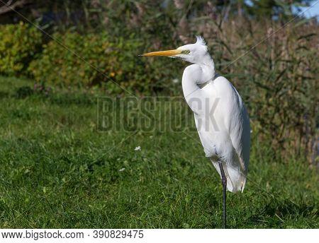 Ardea Alba, Also Known As The Common Egret, Large Egret Or Great White Egret Or Great White Heron. K