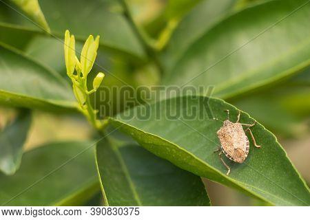 Brown Marmorated Stink Bug Halyomorpha Halys On Citrus Tree Leaf, Insect Harmful To Plants