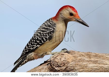 Another close up of a male Red Bellied Woodpecker. poster