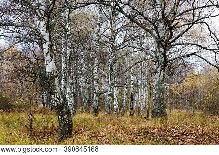 Autumn Birch Grove With Mighty Century-old Birches