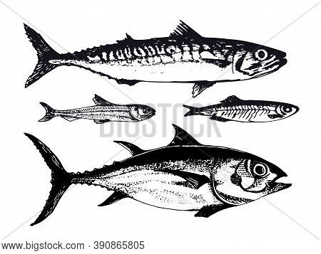 Hand Drawn Illustration Of Ocean Sea Fishes Such As Mackerel, Tuna And Capelin. Vector Illustration