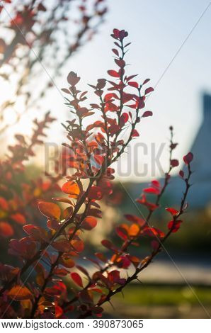 Purple Leaves On Bush Of Thunbergs Barberry, Berberis Thunbergii, The Japanese Barberry, Or Red Barb