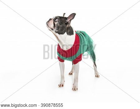 Beautiful Boston Terrier Dog On White Background With Christmas Clothes