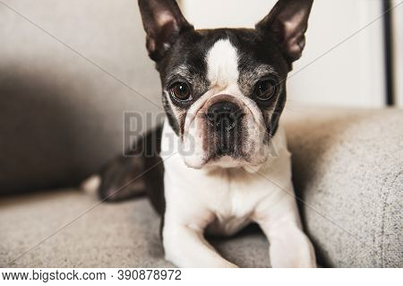 Beautiful Boston Terrier Dog On The Home Sofa