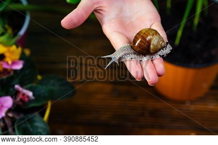 Healing Mucus. Snail Farm Concept. Adorable Snail Close Up. Little Slime With Shell Plant Pot. Cosme