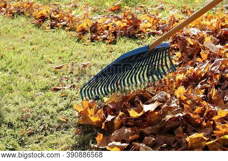 Garden Rake Rakes Maple Leaves Into Bunch In Close-up. Sunny Bright Day For Cleaning The Lawn