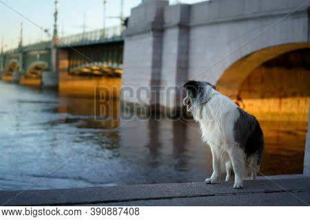 Nice Dog In The City. Marble Border Collie On Architecture Background