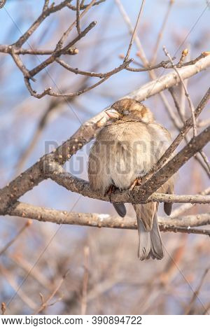 Sparrow Sits On A Branch Without Leaves With Snow. Sparrow On A Branch In The Winter. A Sparrow Sits