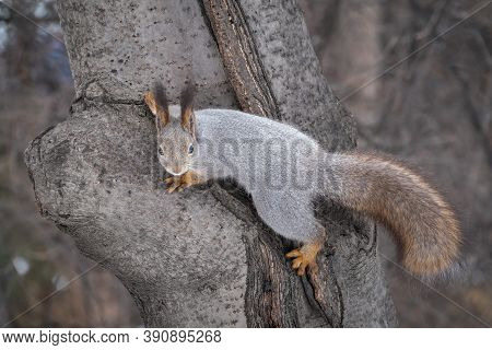 Squirrel In Winter Or Autumn Sits On A Tree Trunk. Eurasian Red Squirrel, Sciurus Vulgaris, With Mag