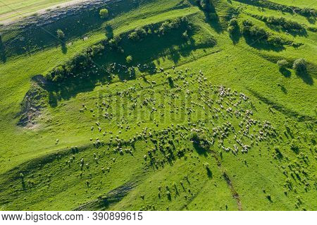 Aerial Drone View Of Herd Of Sheep Grazing In A Meadow