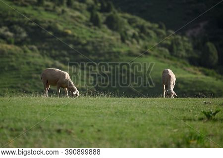 Two Sheep Are Eating Grass In The Field