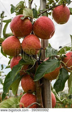 Ripe, Red Gala Apples Hanging On Apple Tree, Hagnau Am Bodensee, Baden-wuerttemberg, Germany