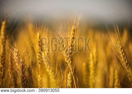 wheat on paddy.wheat field.wheat field on sunset