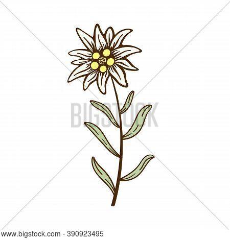 Edelweiss Flower Icon Vector Alpine Icon Flat Web Sign Symbol Logo Label