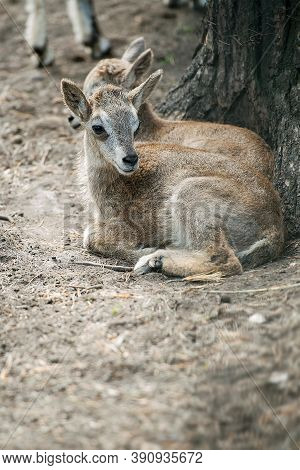 Siberian Ibex (capra Sibirica), Also Altai Or Gobi Ibex Lives In Central Asia. Picture Of Cute Young