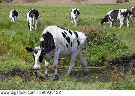 A Cow Crossing A Shallow Stream In Wareham, Dorset In The Uk