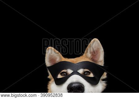 Funny Close-up Akita Dog Celebrating New Year, Halloween Or Carnivai Dressed As A Black Hero. Isolat