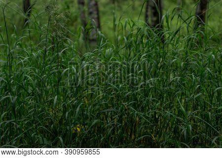 Green Longitudinal Long Dense Grass On Thin Stem In The Dark Forest. Siberia Nature. Birch Tree Trun
