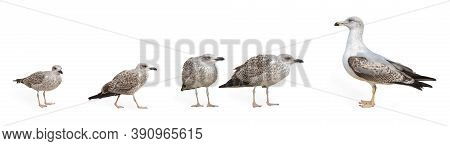 A Large Banner With The Image Of Seagulls. Seagulls Isolated On A White Background